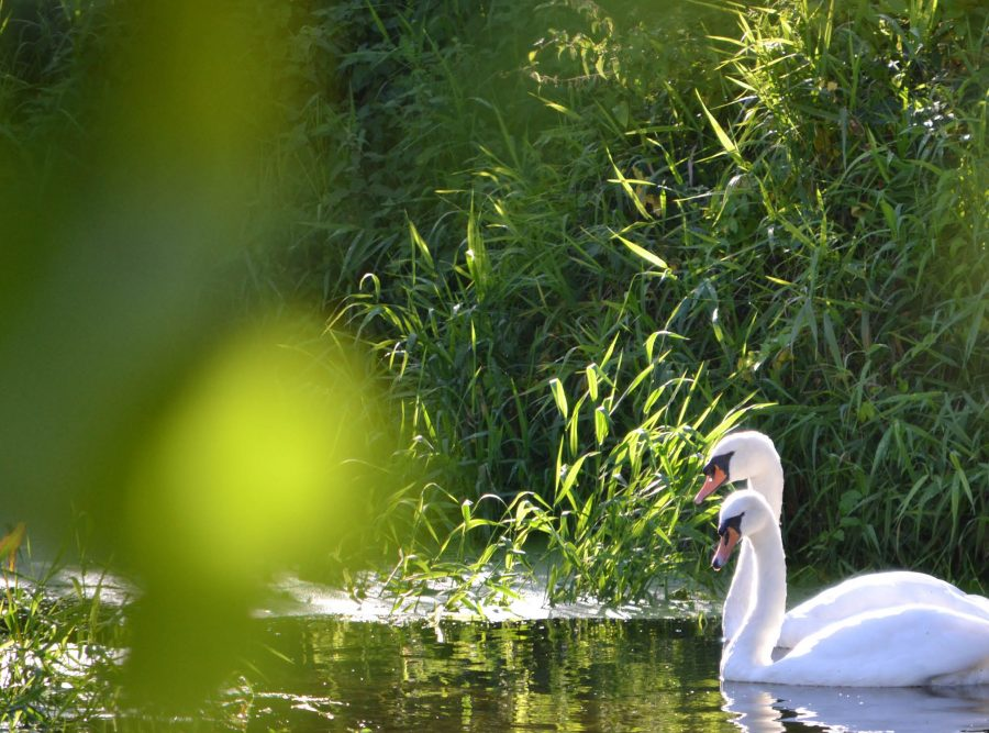 Peaceful swans at keyneston mill
