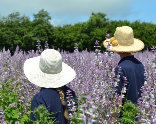 Clary Sage in the Perfume Fields